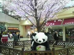 上野駅パンダ&桜