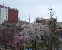 荒川公園の桜