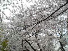 浅草桜満開