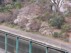 神田川の梅