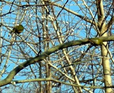 木の実をついばむ目白