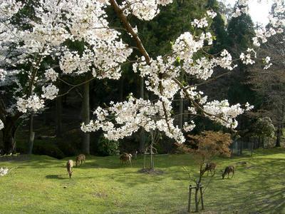 とっても奈良的な桜の風景?