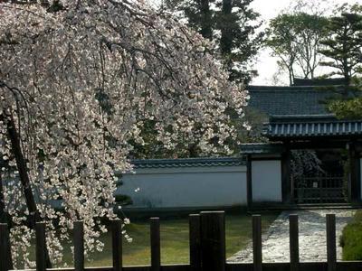 勧進所の枝垂桜