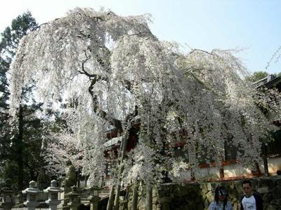 氷室神社の大枝垂れ