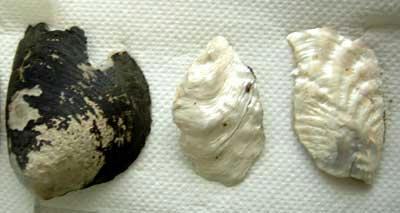 なんて事ない貝殻です。
