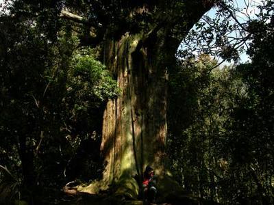 春日の杜の大杉