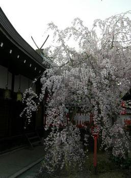 糸桜ともいいます。