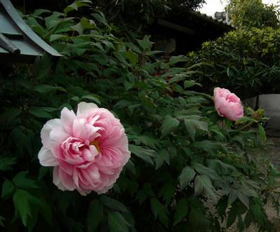 桜色の大輪牡丹