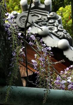 延命寺の藤棚