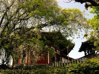 興福寺南円堂と藤