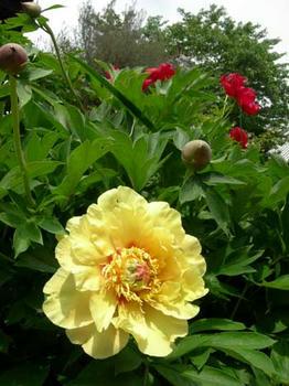芍薬などで黄色の花は珍しいのだそうです。