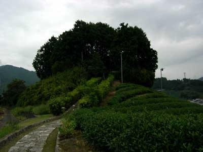 和束町の茶畑の中に