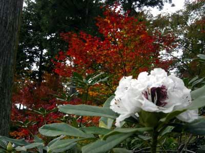 返り咲きでしょうか、それとも秋咲き?