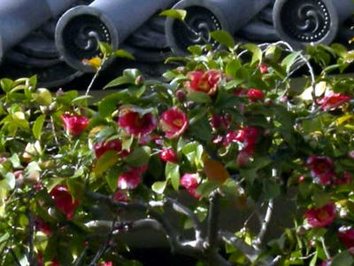 赤地に白いのりをこぼしたような斑入りの花です。