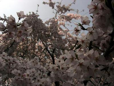 奈良一番の枝垂れ