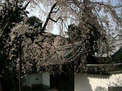 開山堂前の桜