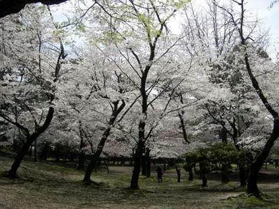 昨年の東大寺境内の桜