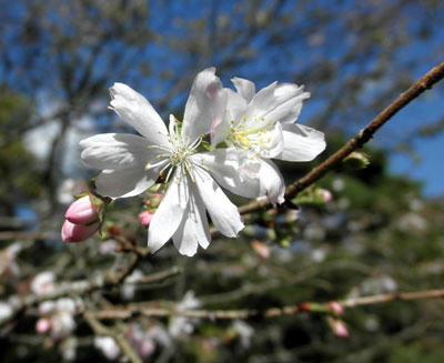 春日大社神苑に咲いていた十月桜