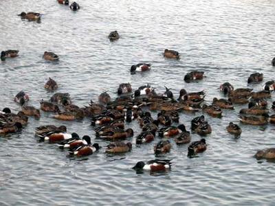 勝間田池の鴨