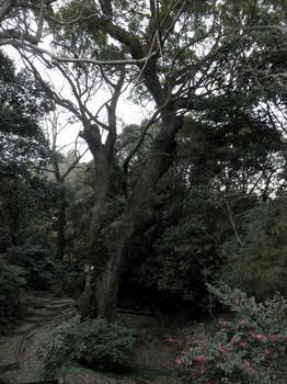 奈良豆比古神社の大楠