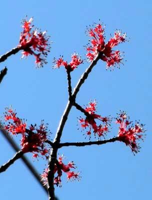 ハナノキの雄花