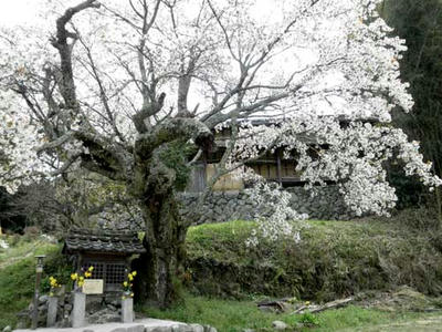 北向地蔵尊の白山桜