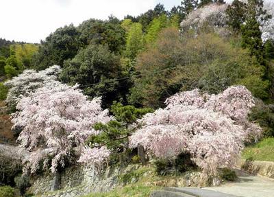 大宇陀にて、満開の枝垂桜