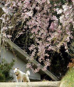 花守の白犬