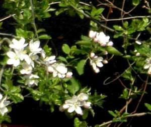 和林檎の花