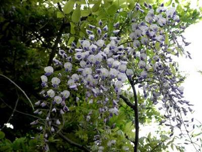 河内飛鳥で咲いていた山藤の花