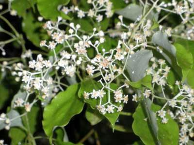 かなり地味な花盛り…楠の花