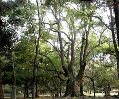 春日野の楠木