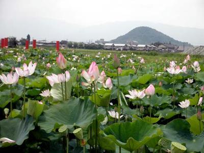 法華寺蓮…借景は畝傍山