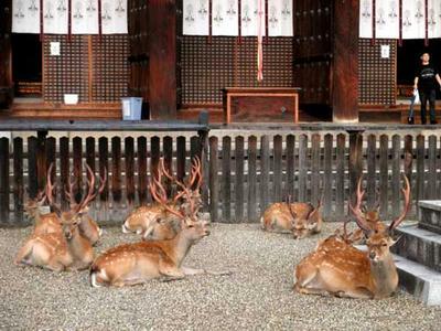 興福寺の鹿ども