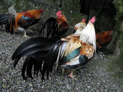 石上神宮の小国鶏