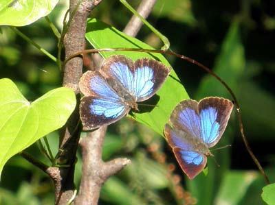畝傍山にいた蜆蝶
