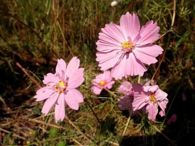 半八重咲きの花