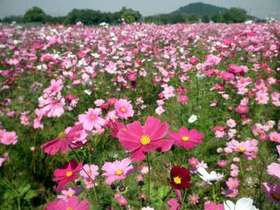 群生する花と耳成山