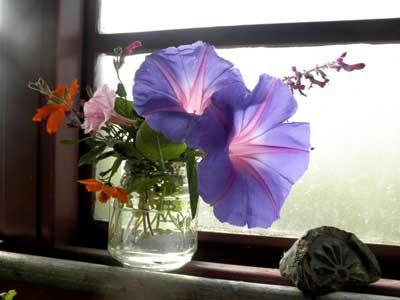 朝顔と黄花コスモス