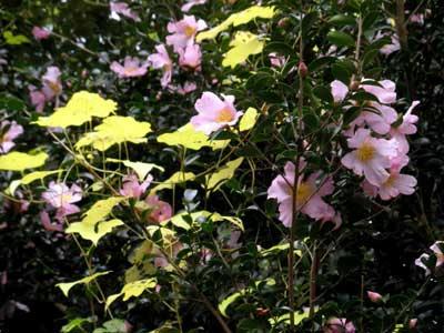 桃色の山茶花と黄色い蔦