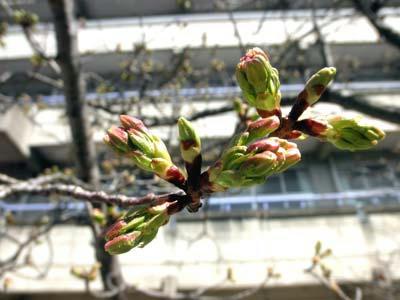 もうすぐ咲く?大島桜
