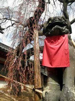 奈良市 氷室神社の大枝垂桜
