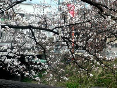 高田川堤の桜