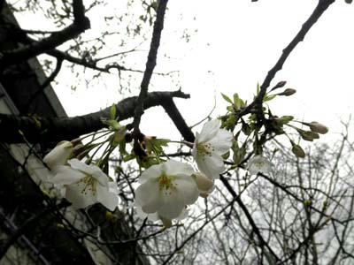 小学校の大島桜