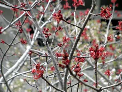 ハナカエデ、咲いています。