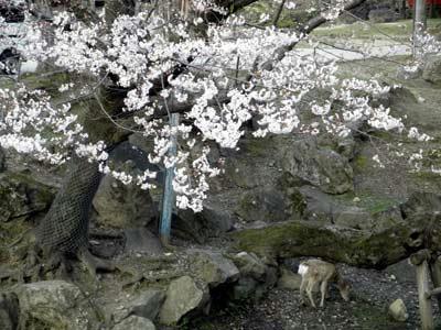 吉城川の桜
