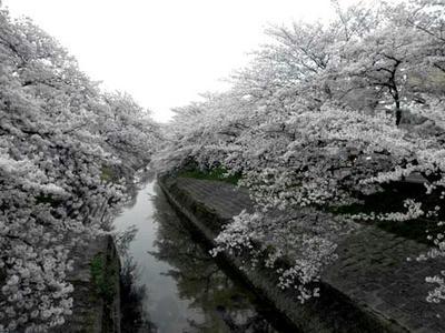 今年の桜も見納めかな