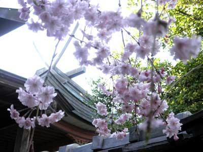 春日移しと枝垂れの華