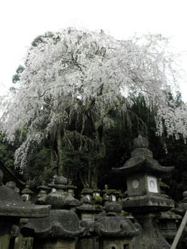 春日大社の枝垂桜