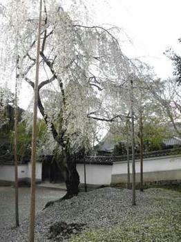 東大寺開山堂前の枝垂桜